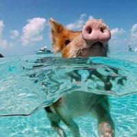 イノシシ 泳ぐ