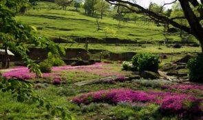 山本牧場 芝桜
