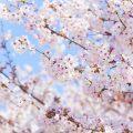 3月宇和島観光のおすすめ!桜の名所巡り