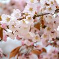 愛媛での桜開花日は?「日本のサクラ100選 2018」に松山城の桜がランクイン!