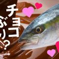 バレンタインに食べたい宇和島産「チョコぶり」がくら寿司に登場