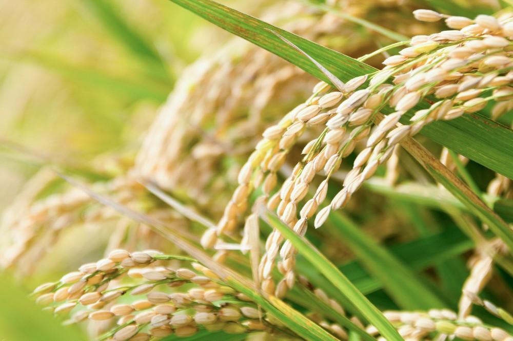 愛媛 新品種 米