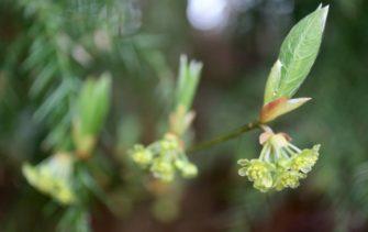 クロモジ 花