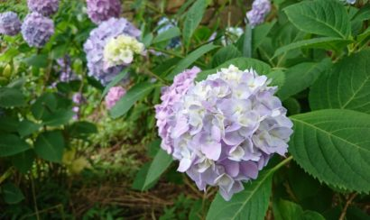 松山総合公園 紫陽花